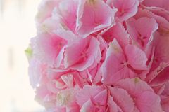 Close up of blooming pink hydrangea flower. Tinted photo. Shallow depth of field.  Royalty Free Stock Photos