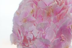 Close up of blooming pink hydrangea flower. Tinted photo. Shallow depth of field.  Stock Photography