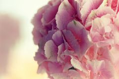 Close up of blooming pink hydrangea flower. Tinted photo. Shallow depth of field.  Stock Images