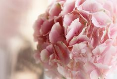 Close up of blooming pink hydrangea flower. Tinted photo. Shallow depth of field.  Royalty Free Stock Images