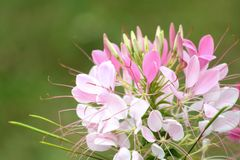 Close up of blooming pink Spider flower Cleome hassleriana royalty free stock photos