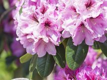 Close up blooming pink violet Rhododendron flower blossom, selective focus, green leaves background, beautiful floral royalty free stock photos