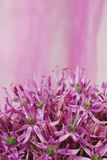 Close up Blooming Purple Allium, onion flower isolated on a white Royalty Free Stock Image