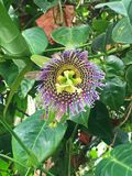 Close up of Blooming Purple Passionflower Vines. Close-up of a blooming passionflower vine, vivid violet color, surrounded by green leaves. The Passiflora stock images