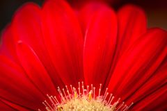 Macro of red Gerber Daisy with yellow center. Close up of a blooming red Gerber Daisy with yellow center and shallow depth of field stock photo