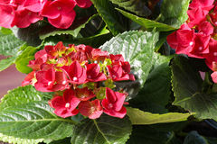 Close-up of a blooming red Hydrangea plant Royalty Free Stock Photos
