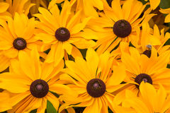 Close up of blooming rudbeckia Stock Image