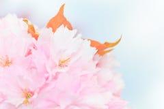 Close up of blooming sakura Stock Photo