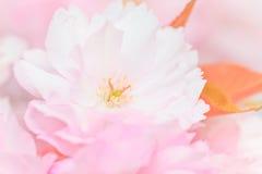 Close up of blooming sakura Stock Photography