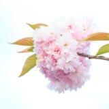 Close up of blooming sakura Royalty Free Stock Image