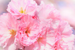 Close up of blooming sakura Royalty Free Stock Images