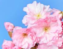 Close up of blooming sakura Royalty Free Stock Photos