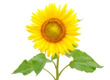 Blooming sunflower, isolated on white background royalty free stock photo
