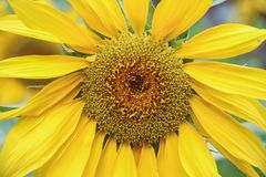 Close up blooming sunflower Stock Image