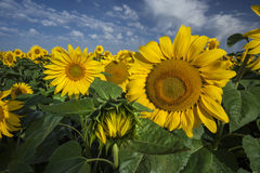 Close-up of blooming sunflowers Stock Images