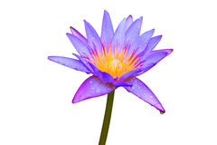 Close up blooming water lily or lotus flower. Stock Images