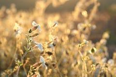 White Campion - Silene latifolia at sunrise royalty free stock photography