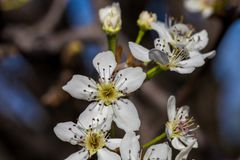Close up of blooming white cherry blossom on branch. 