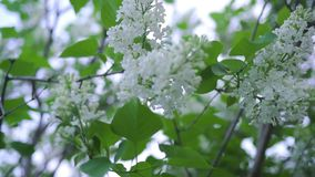 Close-up of blooming white lilac. Stock footage. Beautiful buds of varieties of white lilac with green leaves on. Flowering branches in spring stock footage