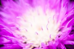 Close up of the blooming whitewash cornflower Stock Images