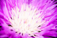 Close up of the blooming whitewash cornflower Stock Photo