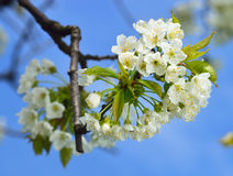 Close up of blooming wild cherry. (Prunus avium) in spring. Branch with white flowers and young leaves royalty free stock photos