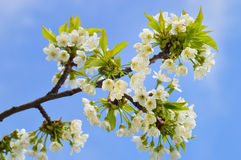 Close up of blooming wild cherry. (Prunus avium) in spring. Branch with white flowers and young leaves royalty free stock images