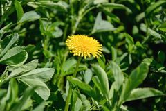 Close up of blooming yellow dandelion flower Taraxacum officinale in garden on spring time. Detail of bright common dandelion in Stock Photography