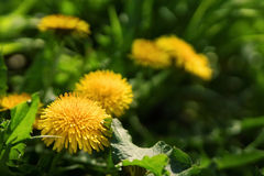 Close up of blooming yellow dandelion flowers Stock Images