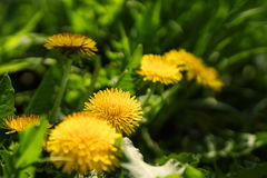 Close up of blooming yellow dandelion flowers Royalty Free Stock Photos