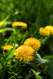 Close up of blooming yellow dandelion flowers Royalty Free Stock Images