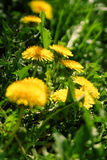 Close up of blooming yellow dandelion flowers Stock Photos