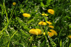 Close up of blooming yellow dandelion flowers Stock Image
