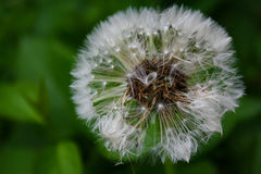 Close up of blooming yellow dandelion flowers in garden on spring time. Royalty Free Stock Image