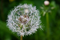 Close up of blooming yellow dandelion flowers in garden on spring time. Stock Photo