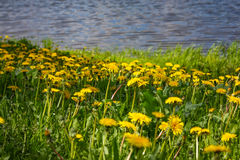 Close up of blooming yellow dandelion flowers in garden on spring time. Royalty Free Stock Photos