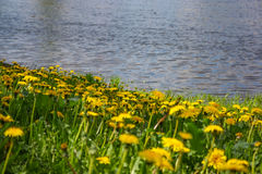 Close up of blooming yellow dandelion flowers in garden on spring time. Stock Photography