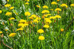 Close up of blooming yellow dandelion flowers in garden on spring time. Stock Images