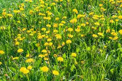 Close up of blooming yellow dandelion flowers in garden on spring time. Stock Photos