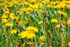 Close up of blooming yellow dandelion flowers in garden on spring time. Royalty Free Stock Photo