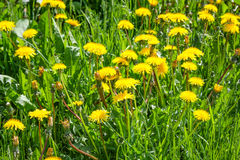 Close up of blooming yellow dandelion flowers in garden on spring time. Royalty Free Stock Photography