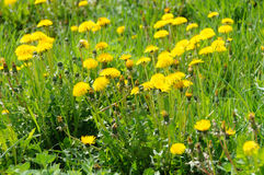 Close up of blooming yellow dandelion flowers Taraxacum officinale Stock Photos