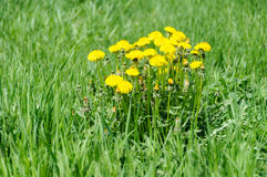 Close up of blooming yellow dandelion flowers Taraxacum officinale Royalty Free Stock Photo