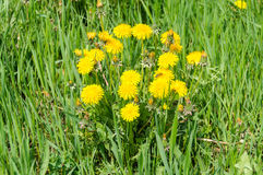 Close up of blooming yellow dandelion flowers Taraxacum officinale Stock Images