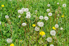 Close up of blooming yellow dandelion flowers Taraxacum officinale Royalty Free Stock Images