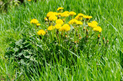 Close up of blooming yellow dandelion flowers Taraxacum officinale Stock Photo