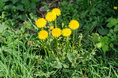 Close up of blooming yellow dandelion flowers Taraxacum officinale Royalty Free Stock Photography