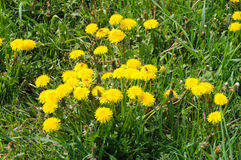Close up of blooming yellow dandelion flowers Taraxacum officinale Stock Photography
