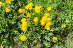 Close up of blooming yellow dandelion flowers Taraxacum officinale Royalty Free Stock Image