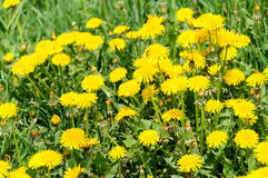 Close up of blooming yellow dandelion flowers Taraxacum officinale Royalty Free Stock Photos